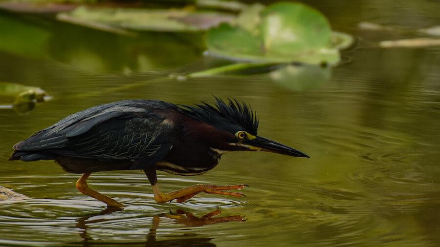 Héron vert Everglades